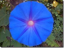 Morning Glory 002